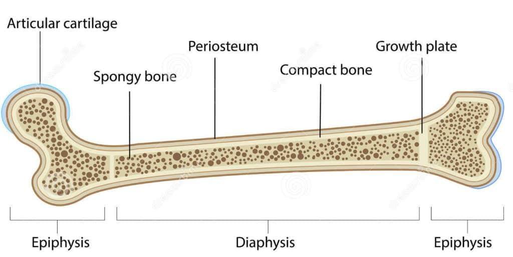 Bone Anatomy Kids Injuries