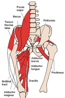 Groin Anatomy